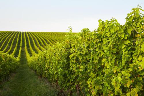 波尔多积极应对气温升高对葡萄酒生产的影响