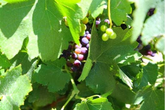 5 7月底,南疆葡萄正处于转色阶段_meitu_6.jpg