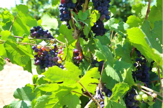 5米兰天使酒庄葡萄园内的黑比诺正在转色 530.jpg